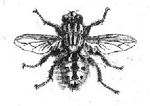 Zeichnung einer Fliege