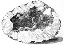 Fossil eines Vogels